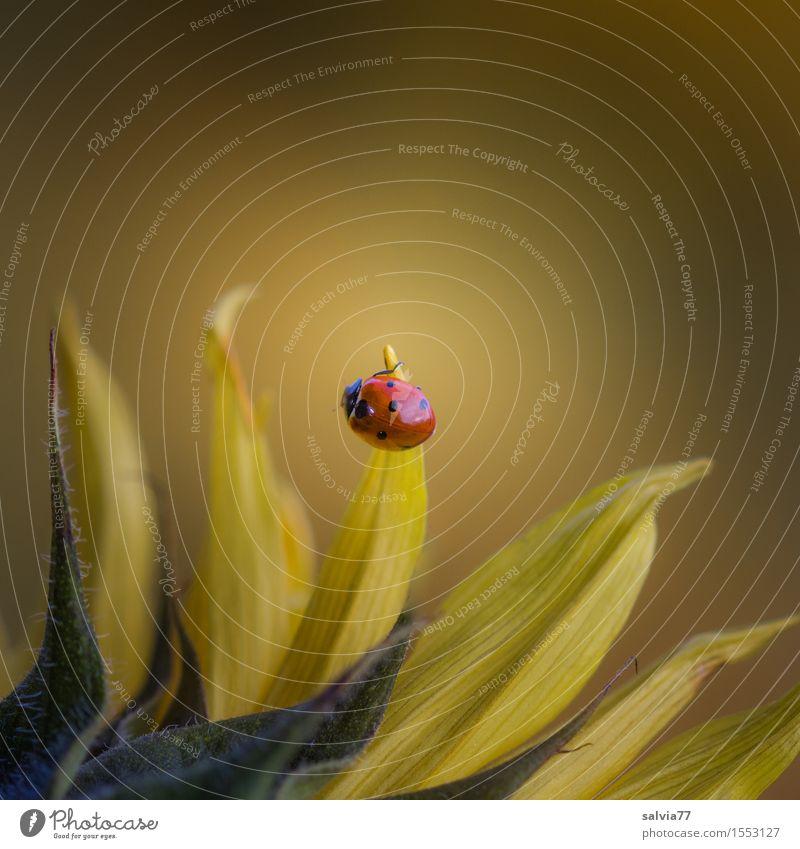 ...der Sonne entgegen Natur Pflanze Tier Frühling Sommer Blume Blüte Sonnenblume Garten Wildtier Käfer Marienkäfer Siebenpunkt-Marienkäfer Insekt 1 Blühend Duft