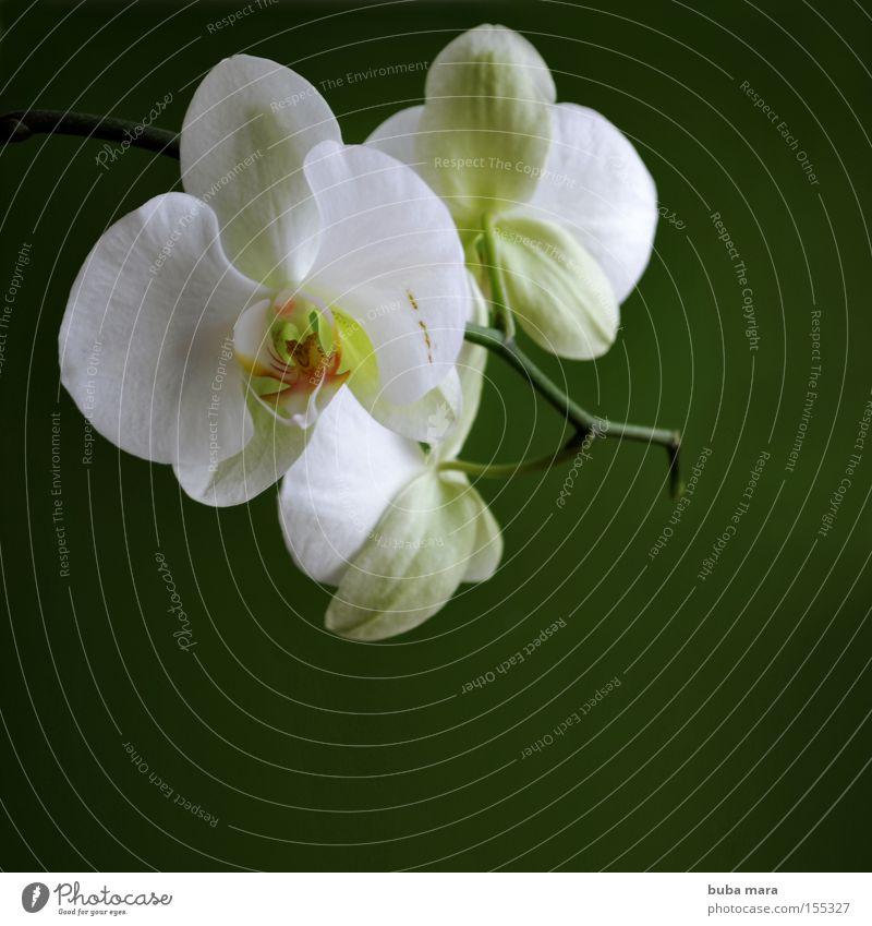 weiss in grün Natur Blume grün Pflanze Blüte Umwelt Wachstum Stengel exotisch Orchidee