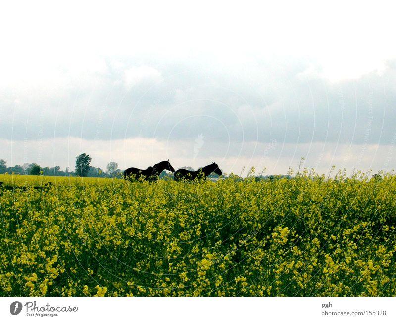 Wo laufen sie denn? Pflanze Sommer Ferien & Urlaub & Reisen Freiheit Feld Pferd Freizeit & Hobby Landwirtschaft Ackerbau Raps Biologische Landwirtschaft Aussaat