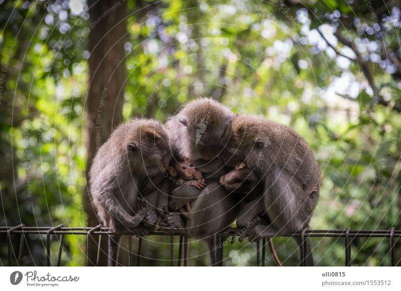 Affe Familie Kind Natur Tier Baum Wald Urwald Tiergruppe Liebe sitzen niedlich wild grau Schutz Menschenaffen Asien Bali seltsam Ausdruck Indonesien Makake