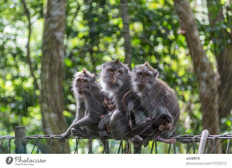 Affe Familie Natur Tier Wald Urwald Ubud Affen Liebe sitzen niedlich wild grau Schutz Menschenaffen Asien Bali seltsam Ausdruck Indonesien Makake Säugetier