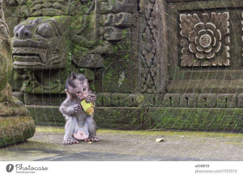 Baby Affe essen Frucht Essen Natur Tier Ubud Affen klein lustig niedlich wild braun Einsamkeit Ferien & Urlaub & Reisen Menschenaffen Asien Bali Lebensmittel