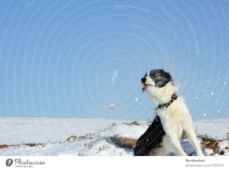 Volltreffer weiß kalt Schnee Hund lustig nass Aktion Frost Säugetier Treffer Blauer Himmel Wintertag Winterspaziergang