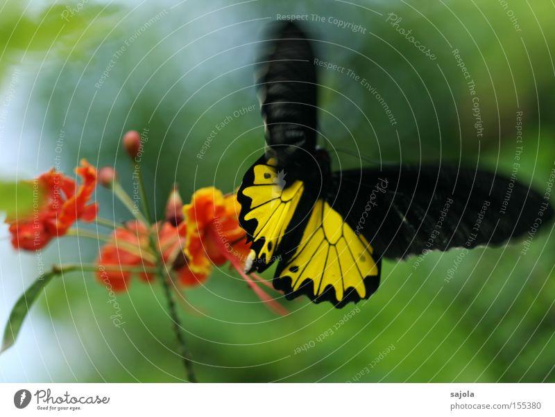 bewegung im spiel Blume schwarz gelb Blüte Bewegung orange fliegen Luftverkehr Flügel Insekt zart Schmetterling Dynamik flattern unzuverlässig