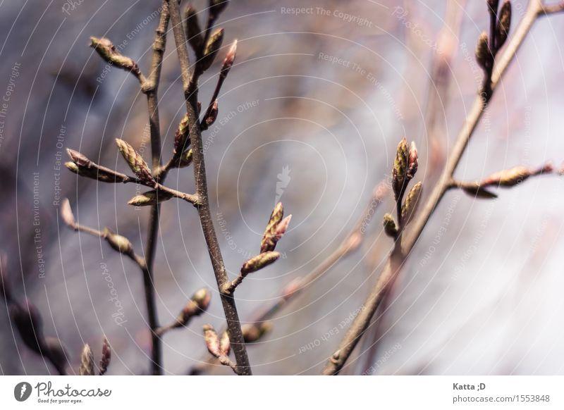 Knospe Natur Tier Frühling Baum Blühend Zweige u. Äste Blattknospe Farbfoto Außenaufnahme Detailaufnahme Licht