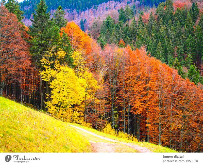 Laubfärbung im Herbst Natur Farbe Baum rot Blatt gelb Herbstlaub Schwarzwald Indian Summer