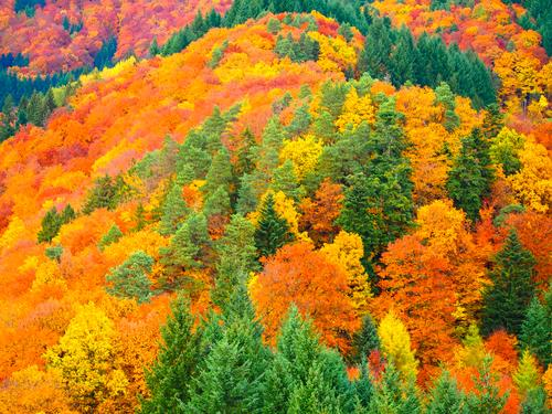 Laubfärbung im Herbst Baum Blatt natürlich gelb rot Farbe Ferien & Urlaub & Reisen Schwarzwald Indian Summer Herbstlaub Wald Ahorn mehrfarbig Tag