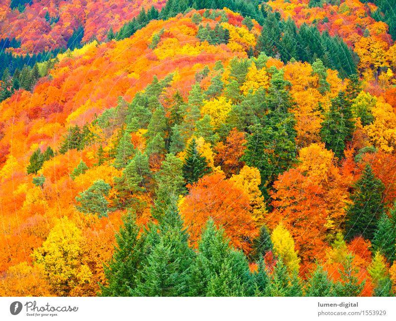 Laubfärbung im Herbst Ferien & Urlaub & Reisen Farbe Baum rot Blatt Wald gelb natürlich Herbstlaub Ahorn Schwarzwald Indian Summer