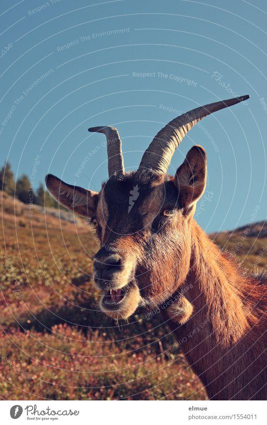 meeeeeeeeeeeck Wolkenloser Himmel Wiese Alm Ziegen Ziegenbock Thusnelda Kommunizieren stehen Aggression Gesundheit einzigartig braun Zufriedenheit Lebensfreude