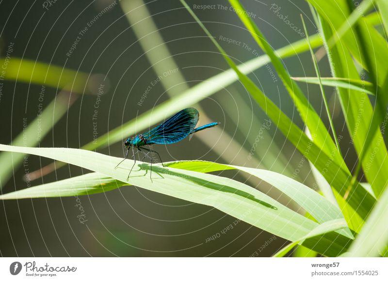 Landeplatz Natur blau Pflanze grün Sommer Blatt Tier braun Wildtier Insekt Flussufer Schilfrohr bizarr Grünpflanze Libelle Wildpflanze