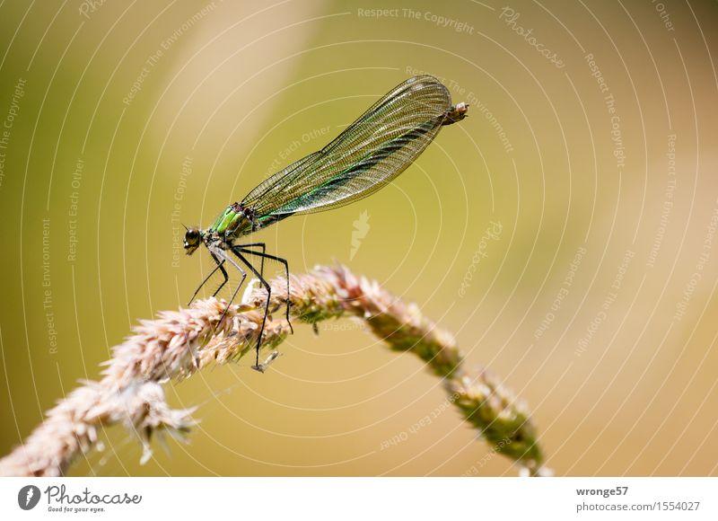Biocopter Natur Tier Sommer Wildtier Libelle 1 warten elegant dünn braun gold grün Insekt Ruhepunkt ausruhend Schilfrohr filigran schön Farbfoto Gedeckte Farben