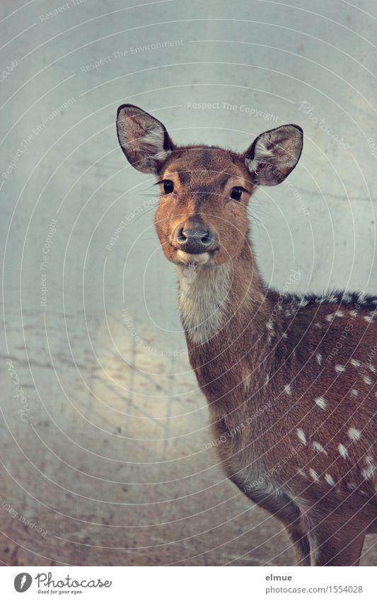 rehbraune Augen Axishirsche Axishirschkuh Hirschkuh Bambi beobachten Kommunizieren Blick stehen elegant schön natürlich Neugier Vertrauen Geborgenheit Sympathie