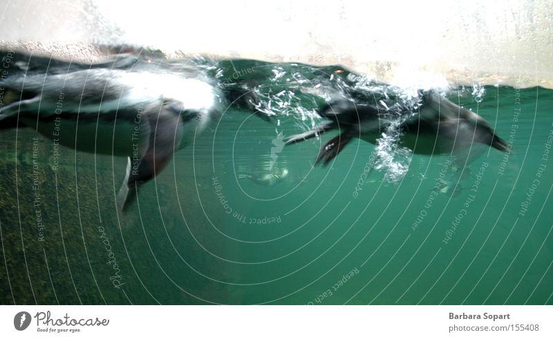 lächeln und winken Pinguin Wasser 2 Luftblase blau grün Tier Schwimmen & Baden