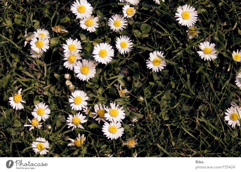Tritt uns nicht. Blume Wiese Pflanze Gänseblümchen Natur Umwelt grün Sommer Frühling Rasen Gras sommerlich schön Freude