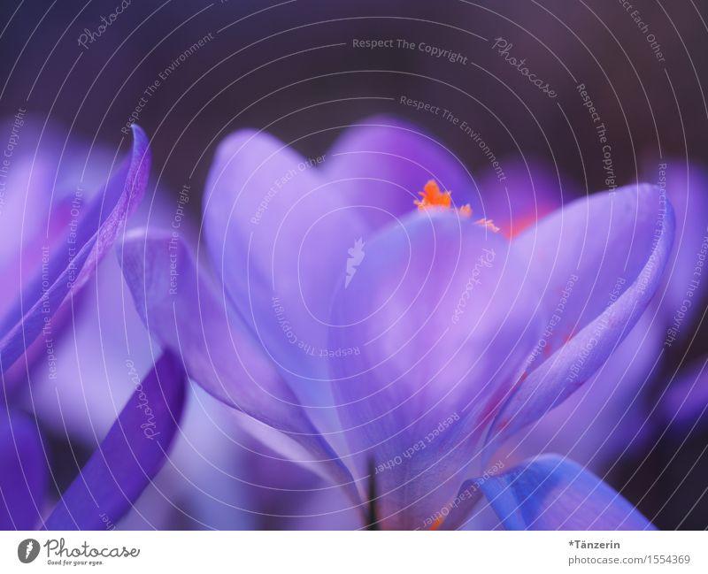 Frühling! Natur Pflanze Schönes Wetter Blume Krokusse ästhetisch natürlich schön blau violett orange Farbfoto mehrfarbig Außenaufnahme Makroaufnahme