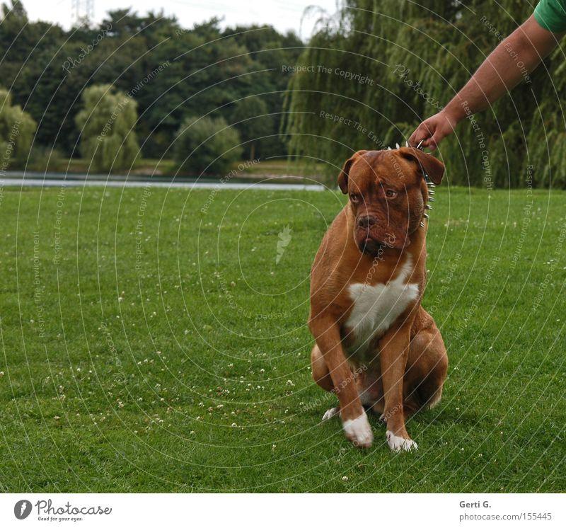 Wer ist hier der BOSS? Hund Dogge Wiese Halsband widersetzen Hand Baum See Gras stur Säugetier bordeauxdogge stachelhalsband festhalten Arme Weide Hundehalsband