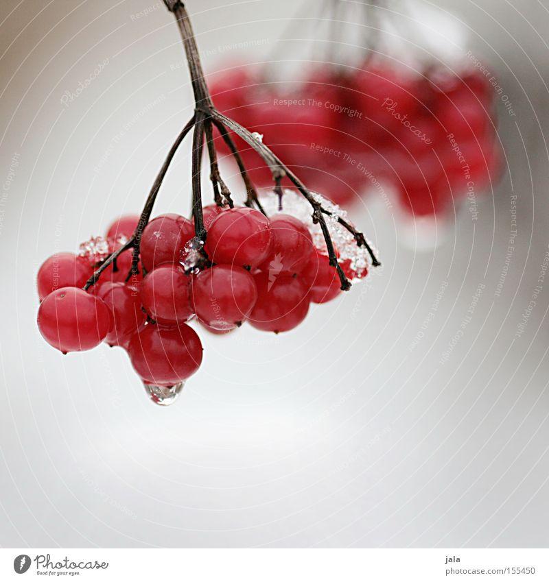 Rote Beeren rot Winter Schnee Eis Natur Frucht Vogelbeeren Zweig kalt Park