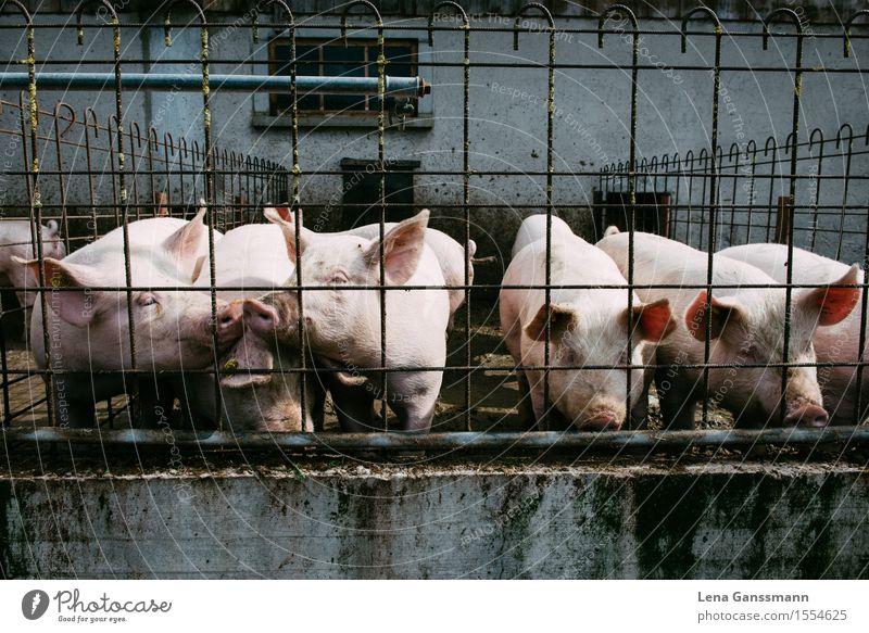 Schweine Ferien & Urlaub & Reisen Sommer Tier Wand Mauer Lebensmittel Stein Zusammensein Metall rosa Tourismus authentisch Tiergruppe beobachten Landwirtschaft