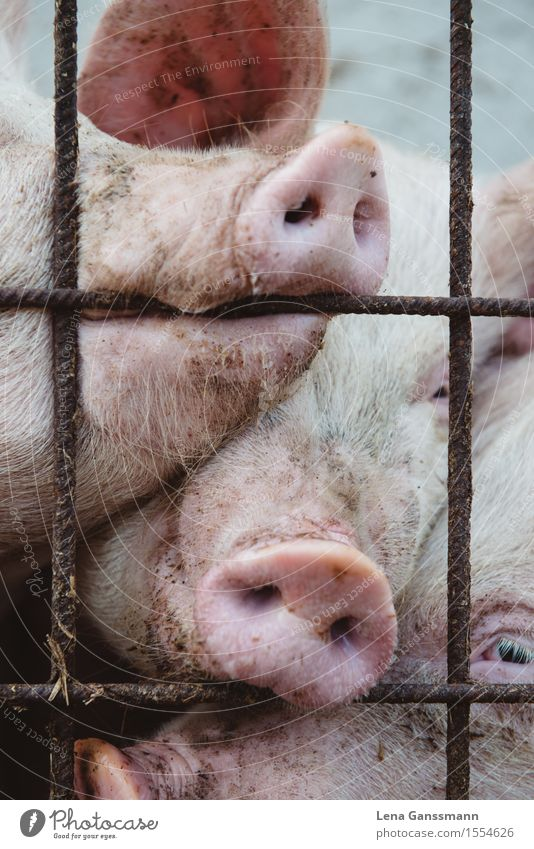 Drei Schweine Fleisch Wurstwaren Landwirtschaft Forstwirtschaft Nutztier Tiergesicht Hausschwein 3 Tiergruppe beobachten dreckig Glück kuschlig lustig nah