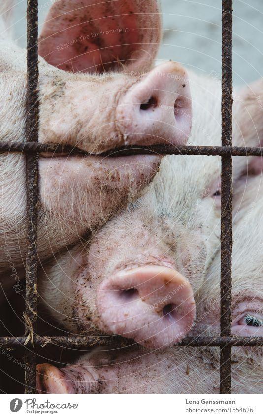 Drei Schweine Tier Freude lustig Glück rosa dreckig Tiergruppe beobachten Neugier Landwirtschaft nah Appetit & Hunger Tiergesicht Fleisch kuschlig