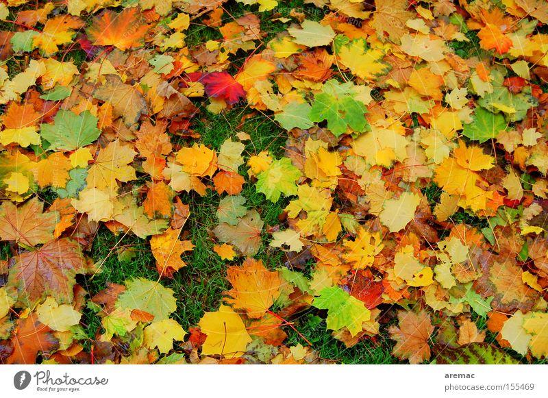 Blätterwald Herbst Blatt Farbe Herbstfärbung mehrfarbig Natur Baum Wiese