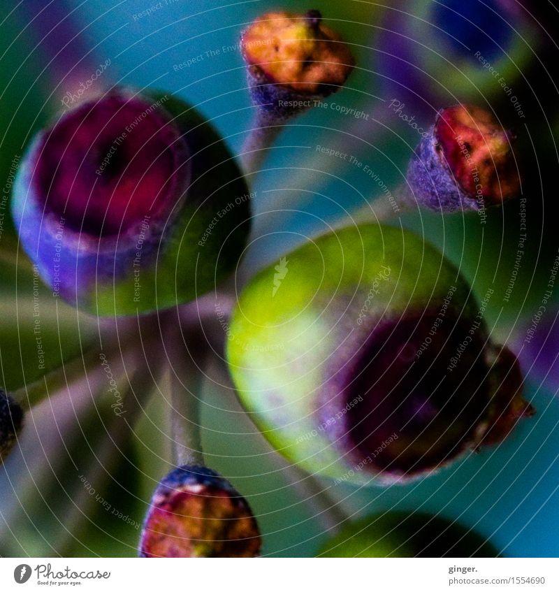 Bunte Makro-Bollerköppe Natur Pflanze Winter Sträucher gelb grün violett orange rot verblüht Samen trocken Doldenblüte rund mehrfarbig verrückt Lensbaby weich
