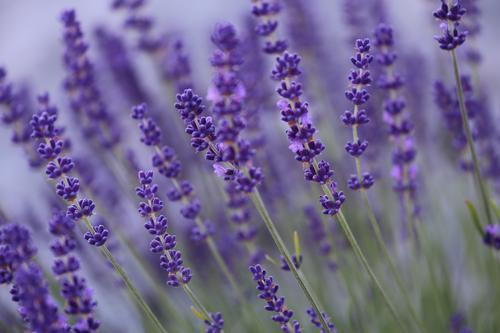 Lavendel Kräuter & Gewürze Lifestyle schön Körperpflege Kosmetik Alternativmedizin Wellness Meditation Duft Tourismus Sommer wandern Landwirtschaft