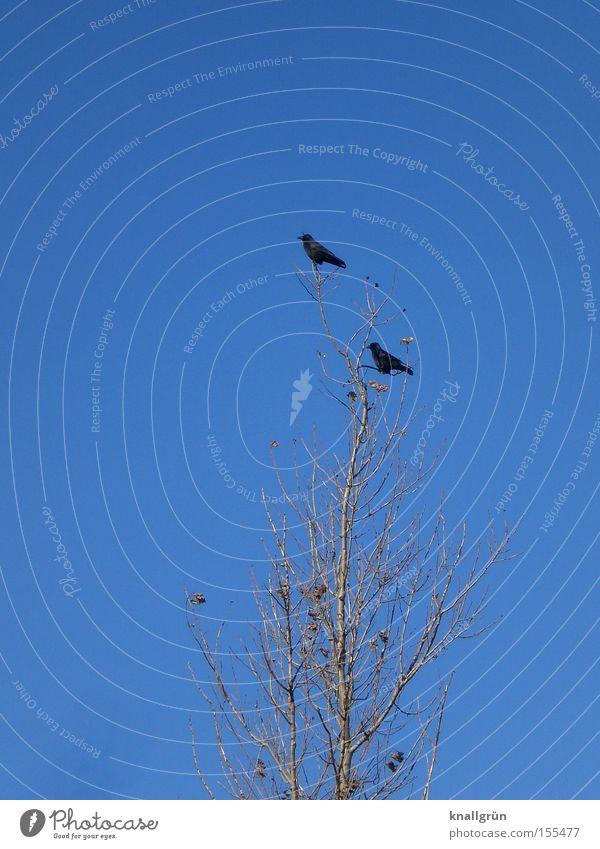 Im Westen nichts Neues Himmel Baum blau Winter Tier 2 Vogel sitzen Richtung Rabenvögel Krähe