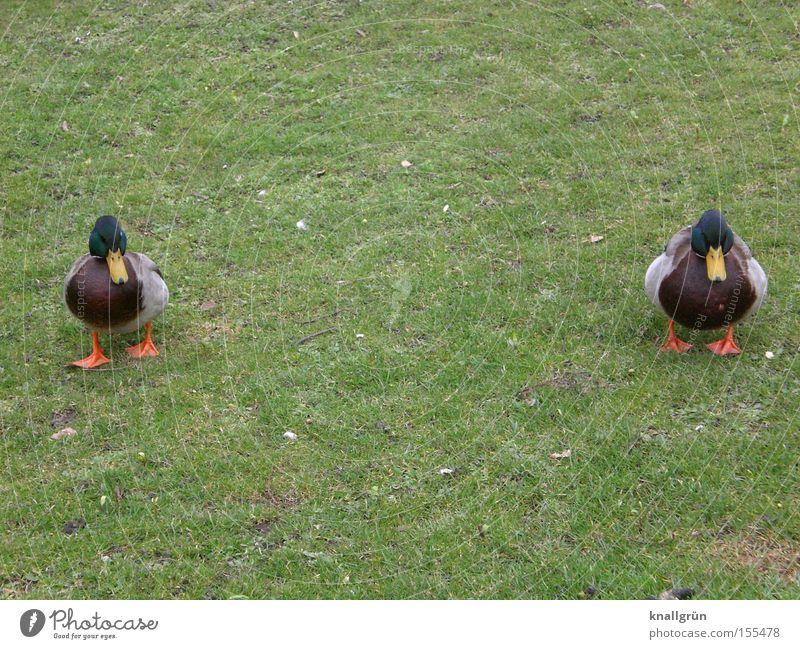 Twins grün Tier Wiese Gras 2 Vogel Rasen Ente Federvieh watscheln Stockente