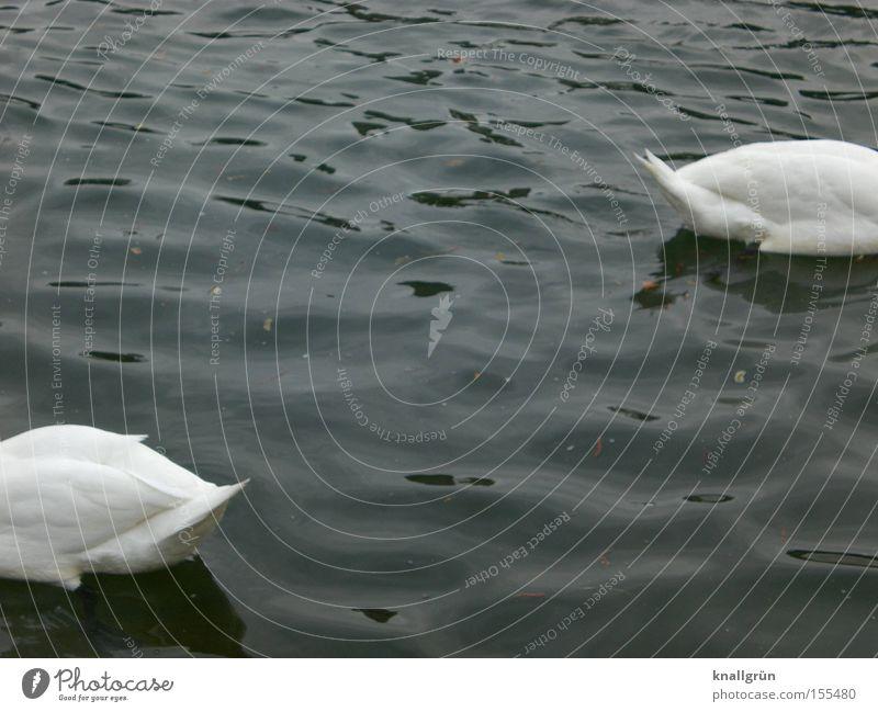 Ab jetzt gehen wir getrennte Wege! blau Wasser weiß Tier Vogel 2 Schwimmen & Baden Vergänglichkeit Im Wasser treiben Schwan kopflos Federvieh