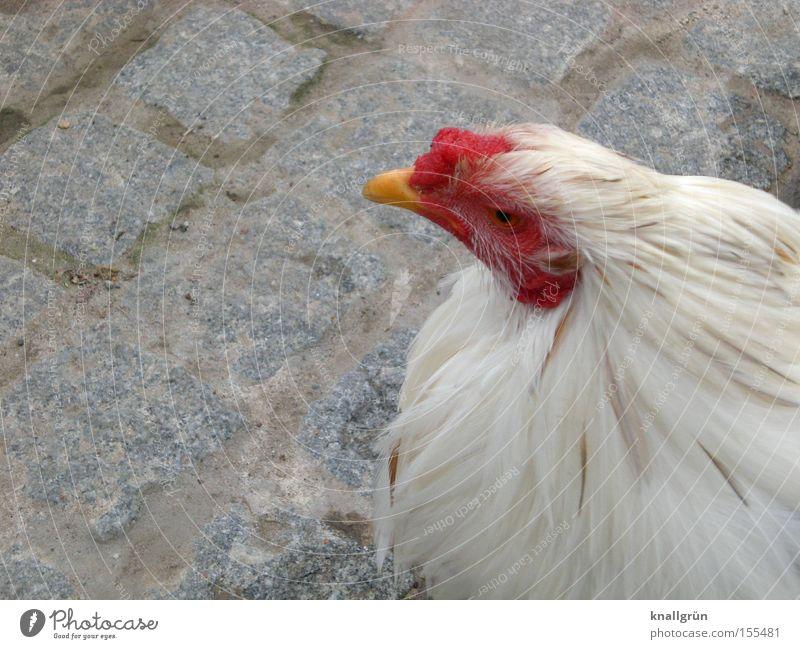 Freilandhuhn Haushuhn Federvieh Tier Vogel weiß rot Blick Kopfsteinpflaster Pflastersteine sitzen Ferdern