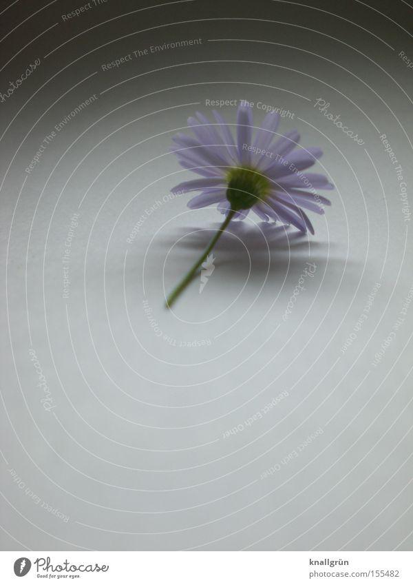 Abgeschnitten schön Pflanze Blume grau Vergänglichkeit violett Stengel Gänseblümchen