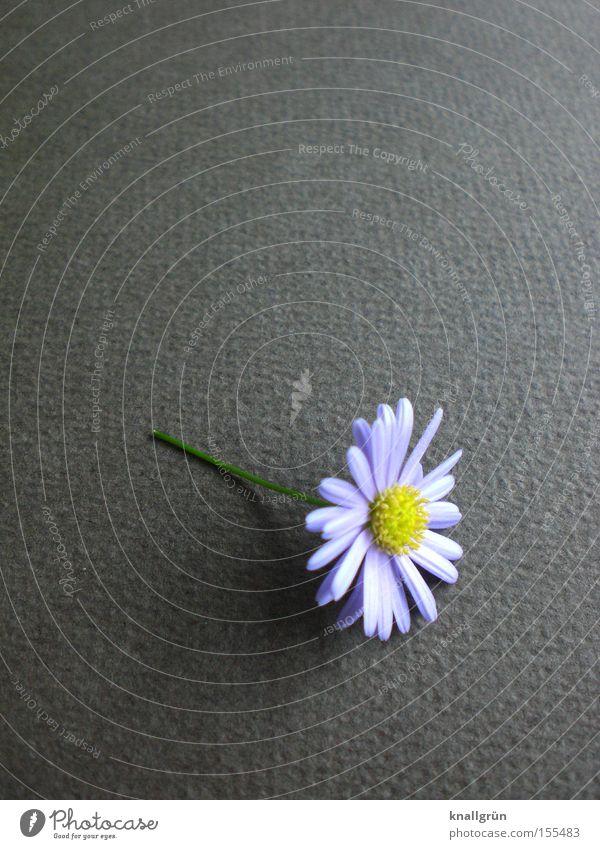 Schön Blume Gänseblümchen Pflanze grau Stengel Natur schön Vergänglichkeit Lila Gänseblümchen