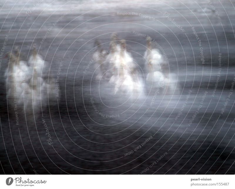 Zitterparty Schwan frieren Gans Wasser kalt Eis Menschengruppe Zusammenhalt Außenaufnahme Vogel