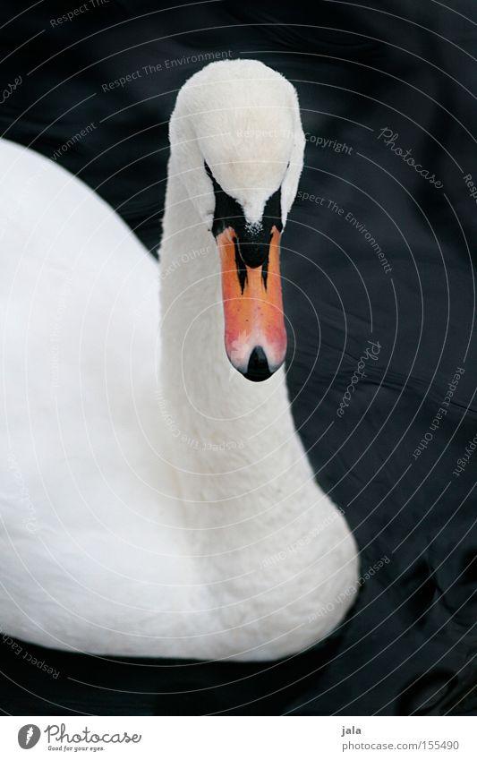 liebesvogel #2 Wasser schön weiß Tier Kopf Vogel elegant ästhetisch Feder Hals Schnabel Stolz Schwan