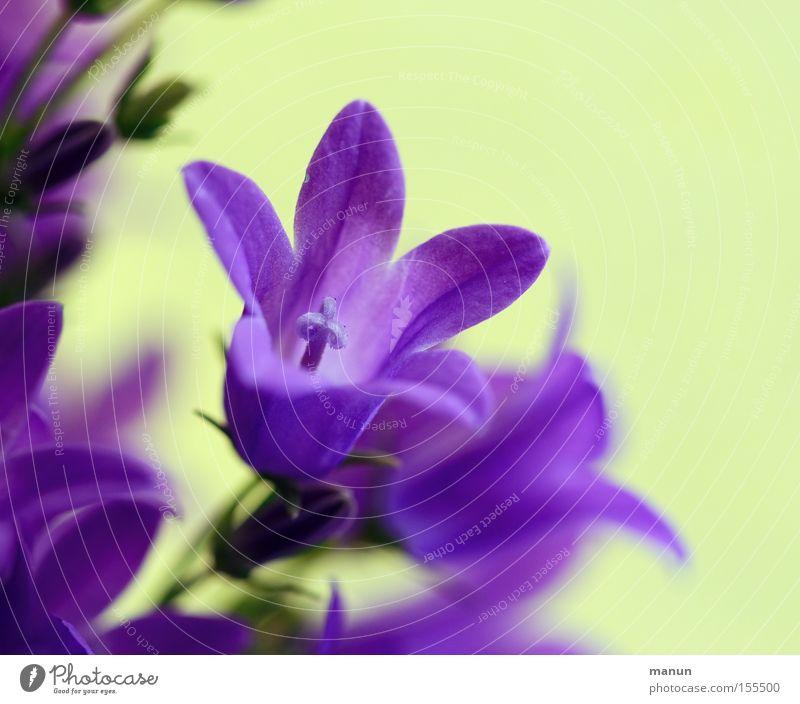 Frühlingsbote schön Natur Pflanze Blume Blüte zart Frühlingsblume Frühlingsfarbe Frühlings-Enzian Blühend violett Frühlingsgefühle Farbfoto Menschenleer