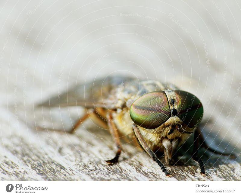 Männliche Bremse (Tabanus bromius)_03 Zweiflügler Insekt Blut Tier Fliege Stechmücke saugen Auge Facettenauge Angst Panik Makroaufnahme Nahaufnahme
