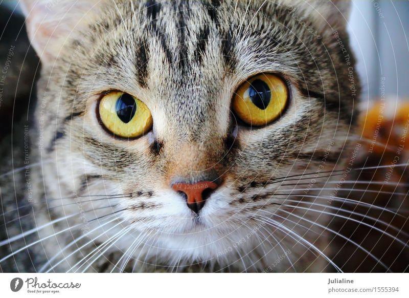 Katzenporträt mit gelben Augen Gesicht Tier Oberlippenbart Haustier 1 Streifen nah Säugetier Backenbart Koteletten schließen Farbfoto
