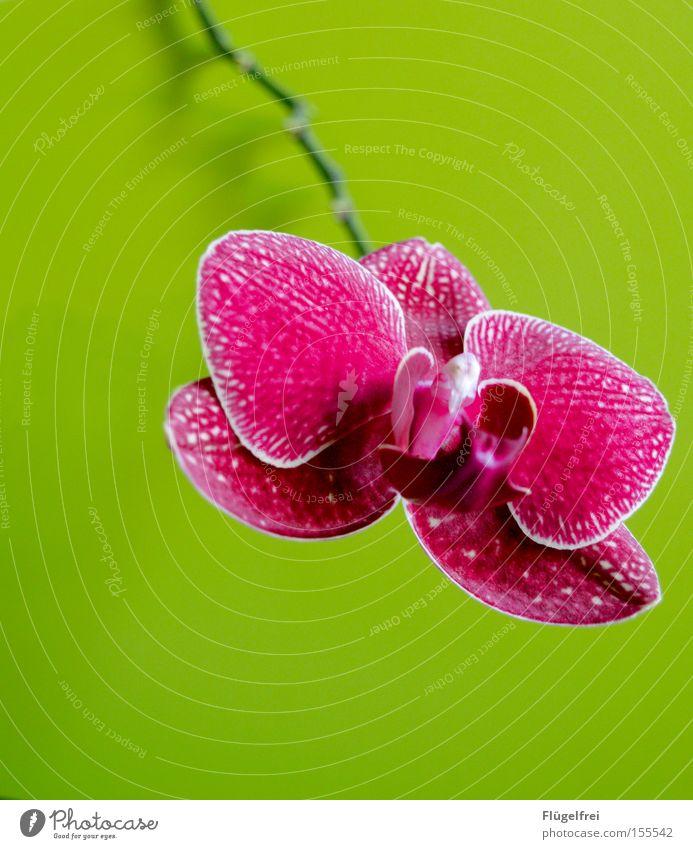 kontrastreich exotisch Umwelt Natur Pflanze Blume Orchidee Blüte Wachstum grün rosa Stengel mehrfarbig Kontrast