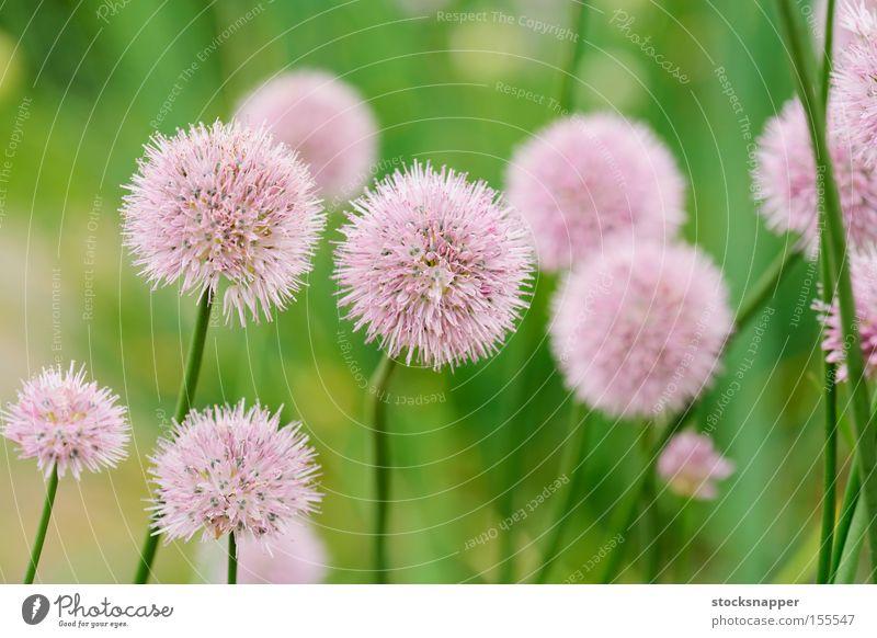 Schnittlauch Gemüse Bärlauch Blühend Blume Lebensmittel Kräuter & Gewürze krautig Zwiebel perennal Pflanze Schoenoprasum