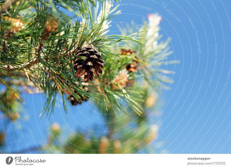 Natur Baum Finnland Kiefer Europäer Zapfen Finnisch Immergrün