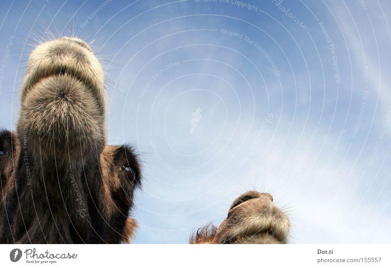 wo ist das Vögelchen? Tier Himmel Wolken Tiergesicht Fell 2 Tierpaar Blick lustig Neugier braun Wachsamkeit Kamel Dromedar Trampeltier Kopf Maul Auge sanft