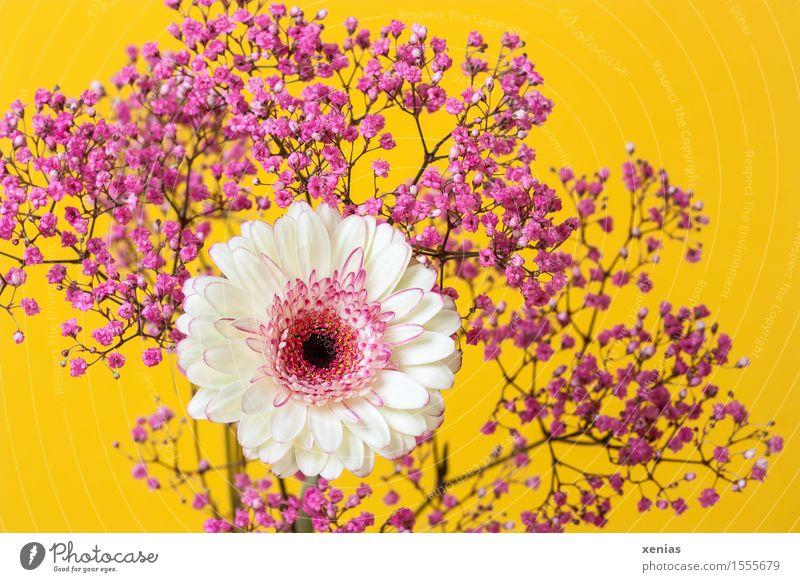 weiße Gerbera mit rosa Schleierkraut vor gelbem Hintergrund Blumenstrauß Valentinstag Muttertag Geburtstag Frühling Sommer Blüte Frühlingsgefühle