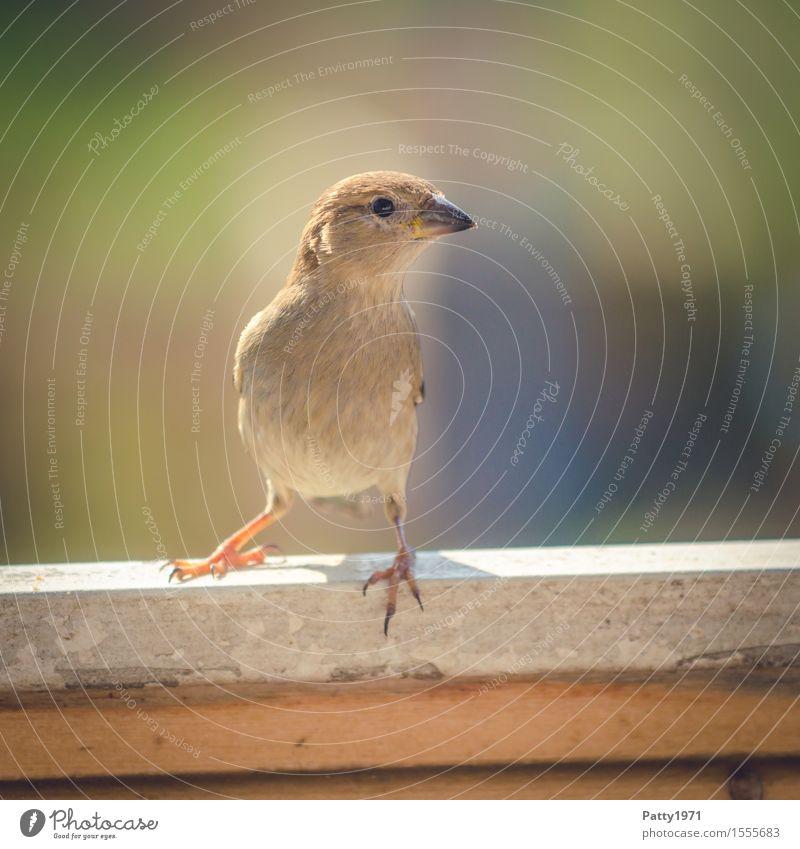 Spatz Wildtier Vogel Sperlingsvögel 1 Tier Blick natürlich Neugier feminin braun Interesse Natur Farbfoto Außenaufnahme Menschenleer Textfreiraum rechts Tag