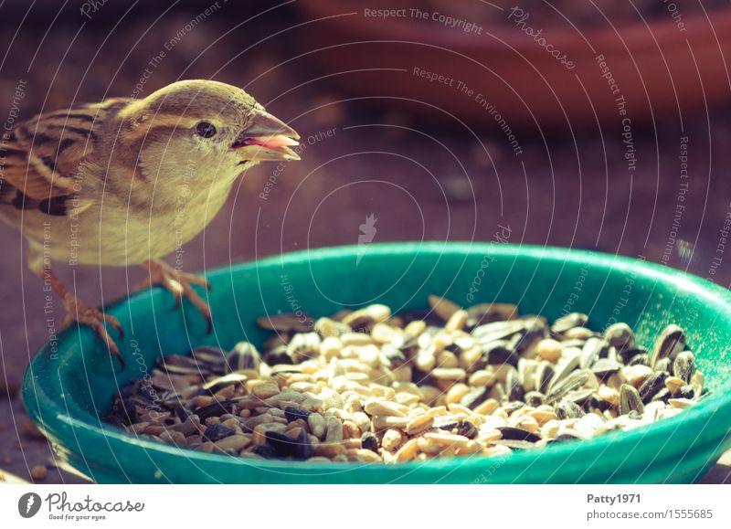 Spatz Wildtier Vogel Sperlingsvögel 1 Tier Fressen füttern braun Natur Farbfoto Außenaufnahme Menschenleer Tag