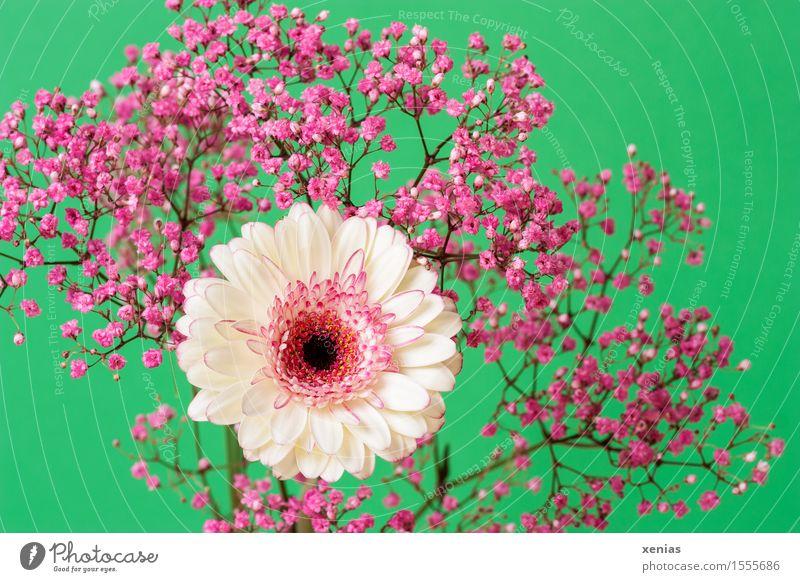 weiße Gerbera mit rosa Schleierkraut vor grünem Hintergrund Frühling Sommer Blume Blüte Dekoration & Verzierung Blumenstrauß Rosenschleier Gypsophila