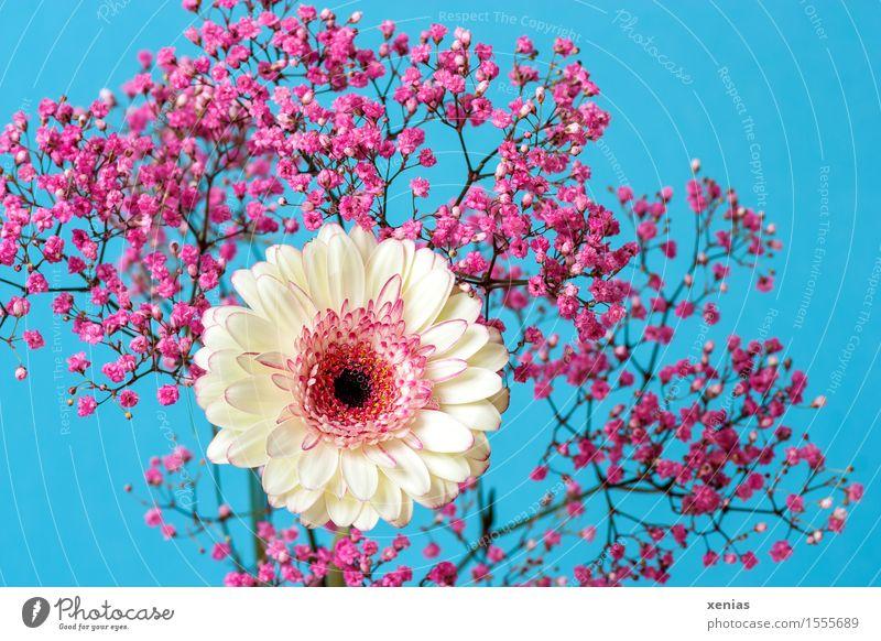 Weiße Gerbera mit rosa Schleierkraut vor hellblauem Hintergrund Blumenstrauß Geburtstag Frühling Sommer Rose Blüte weiß hell-blau Blauer Hintergrund Nahaufnahme