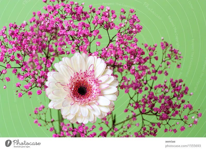 Gerbera mit Rosenschleier vor Hellgrün weiß Blume ruhig Blüte rosa Schleierkraut