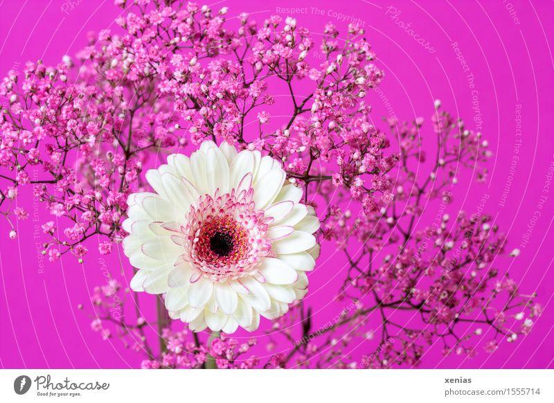 weiße Gerbera mit rosa Schleierkraut vor pinkem Hintergrund Gipskraut Blumenstrauß Muttertag Geburtstag Pflanze Frühling Sommer Sträucher Blüte Gypsophila