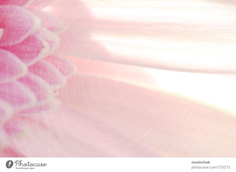 Die Reinheit der Unschuld Blume Pflanze Farbe Gefühle Blüte Farbstoff rosa Hintergrundbild weich zart sanft